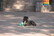 This little cutie entertained himself and us with this bottle that he tried to open... some street dogs are just so adorable