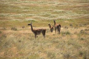 "In the ""future National Park Patagonia"" Guanacos. Many."
