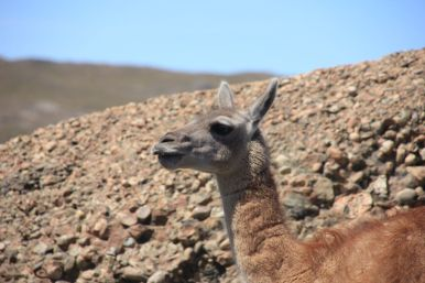 It is not the smartest animal on this planet. But solo cute: one of the many Guanacos