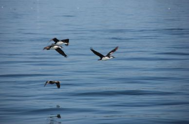 The ferry crossing to Chiloe is short, but lots of birds, sea lions and even penguins follow the ferry.