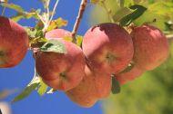 Apples everywhere...