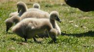 fluffy swans