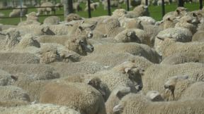 lots of sheep