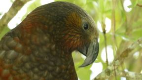 We visited a bird sanctuary and found this fella: a Kaka