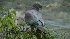 the New Zealand pigeon