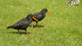 Oystercatchers have a walk...