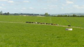 "Some of the herd coming back back from being milked and back to the meadows for new ""input""."